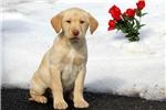 Picture of Brenda / Labrador Retriever Yellow