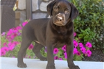 Picture of Anna / Black Lab