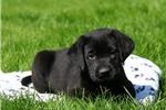 Picture of Duchess / Labrador Retriever Black