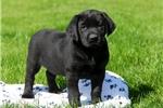 Picture of Dina / Labrador Retriever Black