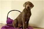 Picture of Gus / Labrador Retriever Silver