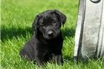 Picture of Duffy / Labrador Retriever Black