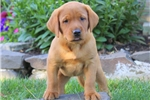 Picture of Lisa / Yellow Lab