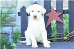 Picture of Yvette / Yellow Lab