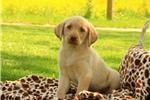 Picture of Cliff / Labrador Retriever Yellow