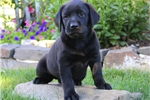 Picture of Lila / Black Lab