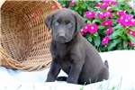 Picture of Yetti / Chocolate Lab