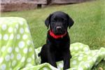 Picture of Owen / Labrador Retriever Black