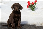 Picture of Sylvia / Labrador Retriever Chocolate