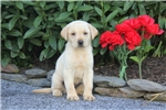 Picture of Adrienne / Yellow Lab