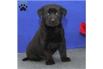 Picture of Randy / Labrador Retriever Black