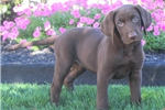 Picture of Adeline / Chocolate Lab