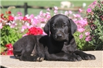 Picture of Cherry / Black Lab