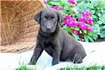 Picture of Yasmin / Chocolate Lab