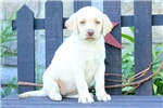 Picture of Yessica / Yellow Lab