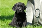 Picture of Duna / Labrador Retriever Black