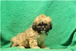 Picture of Nancy / Lhasa Apso