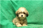 Picture of Jade / Lhasa Apso
