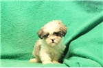 Picture of Jeff / Lhasa Apso