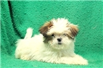 Picture of Ossie / Lhasa Apso