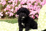 Picture of Roger / Lhasa-Poo