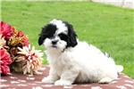 Picture of Bobby / Lhasa-poo
