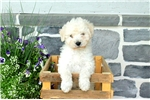 Picture of Austin / Lhasa-poo