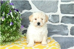 Picture of Angel / Lhasa-poo