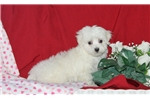 Picture of Dolly / Maltese