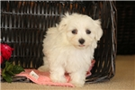 Picture of Vincent / Maltese
