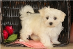 Picture of Valorie / Maltese