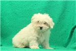 Picture of Anthony / Maltese