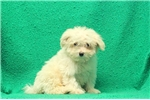 Picture of Archie / Maltese