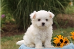 Picture of Jace / Maltese