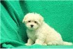 Picture of Annie / Maltese
