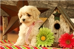 Picture of Jory / Maltipoo