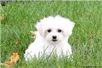 Picture of Lady-Maltipoo