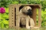 Picture of Cinder / English Mastiff