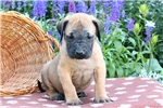 Picture of Sojo / English Mastiff