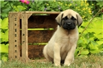 Picture of Cricket / English Mastiff