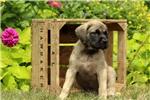 Picture of Cleo / English Mastiff