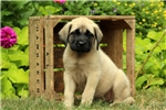 Picture of Candace / English Mastiff