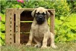 Picture of Cecelia / English Mastiff