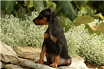 Picture of Percy / Miniature Pinscher
