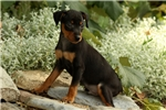 Picture of Patrick / Miniature Pinscher