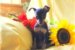 Picture of Charlie / Miniature Pinscher