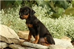 Picture of Paxton / Miniature Pinscher