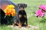 Picture of Misty / Miniature Pinscher