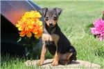 Picture of Marco / Miniature Pinscher