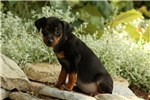 Picture of Pickadilly / Miniature Pinscher